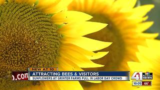 Thousands visit Grinter Farms to see sunflowers bloom on Labor Day weekend - Video