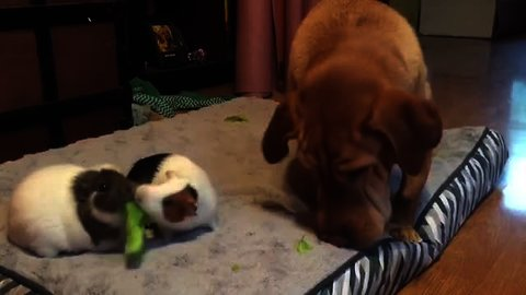 Dog shares tasty snack with guinea pigs