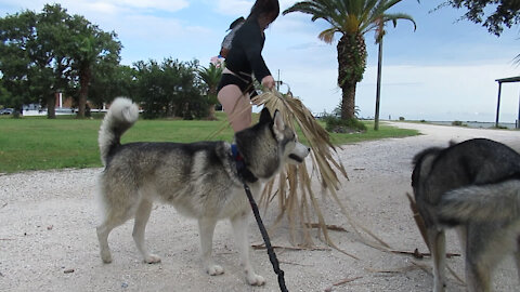 Husky Puppy Attacks Palm Leaves