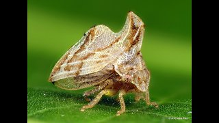 Tiny treehopper from Ecuador