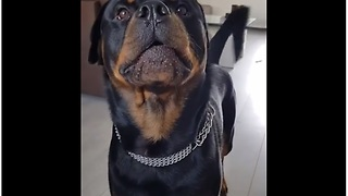 Rottweiler wants owner to pick up toy - Video