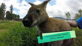 Curious wallaby wants GoPro lesson - Video
