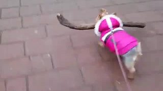 Tiny dog impressively carries massive stick