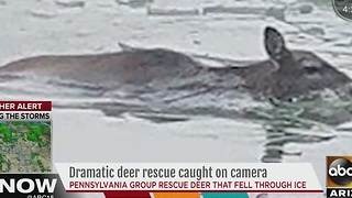 Pennsylvania group rescues deer that fell through ice - Video