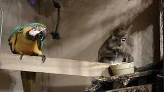 Naughty Monkey Steals Parrot's Food - Video