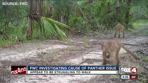 FWC investigating cause of panther issue