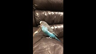 Beatboxing budgie gets tickled by his own feather