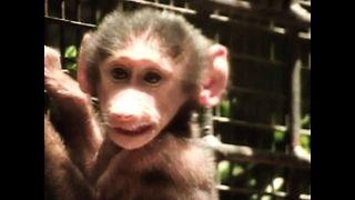 Baby Baboon and Tapir - Video