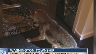 Coyotes crash into Washington Township condo - Video