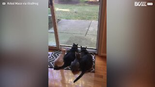 Cats gather to watch squirrels eat