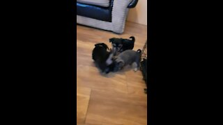Cute Pups Playing Together.