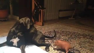 Tiny mini pig plays with massive Great Dane