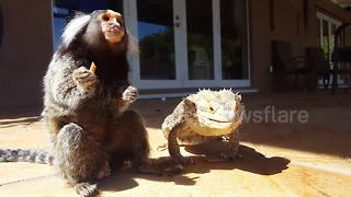Hungry monkey and bearded dragon can't stop eating mealworms - Video