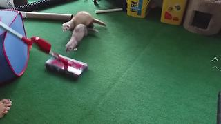 Two Adorable Ferrets Obsessed With A Vacuum Cleaner - Video