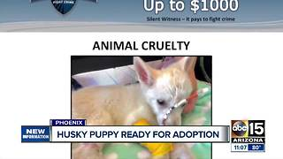 Abused husky puppy now ready to be adopted - Video