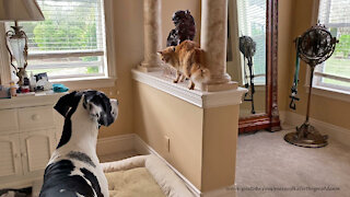 Funny Cat Guards Foo Dogs From Great Dane