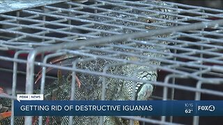 How to safely remove iguanas from your home
