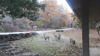 Woman coaxes young deer to trust her