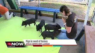Pot belly pigs up for adoption at Largo shelter - Video