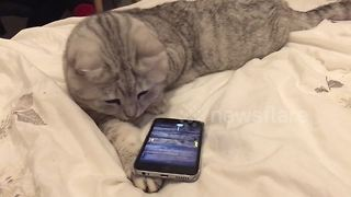 Cat flips phone looking for on-screen mouse - Video