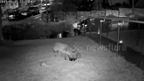 Hedgehog and fox have a friendly late-night dinner in a UK garden
