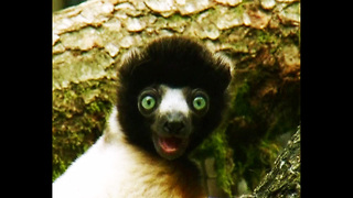 TINY Lemur - Video