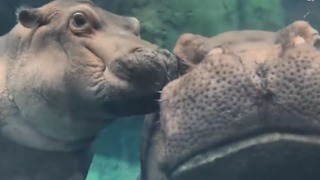 Baby Hippo Fiona Gives Mom a Kiss on the Cheek