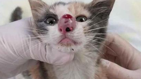 Kitten's nose is swelled up – now watch when the vet realizes the terrible truth