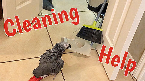 Industrious parrot wants to help sweep the floor