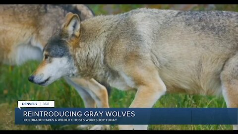 360: Reintroducing gray wolves in Colorado