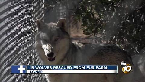 15 wolves rescued from fur farm, Sylmar