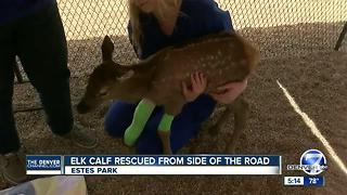2-week-old elk calf rescued in Estes Park - Video