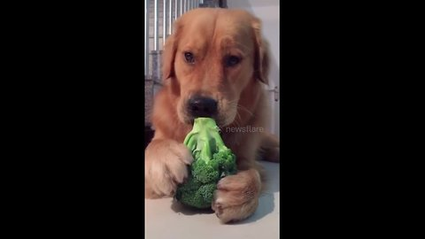 This golden retriever loves snacking on greens
