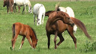 A herd of Arab horses with foals