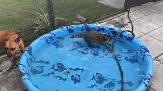 Baby raccoon plays in paddling pool - Video