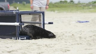 Abandoned seal back in the wild after being rehabbed by the National Aquarium