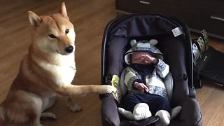 Shiba Inu gently rocks baby to sleep