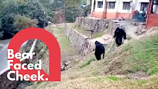 Police dress as bears to scare off angry monkeys