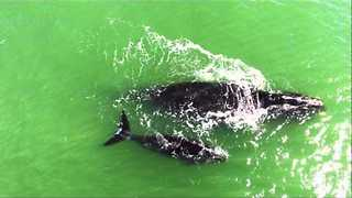 Rare North Atlantic Right Whales Spotted at Ormond Beach - Video