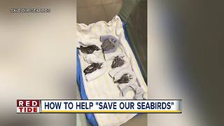 Red Tide affecting seabirds in Sarasota County
