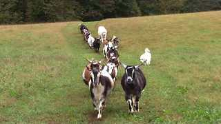 Goats and Their Canine Companions Walk in Beautiful Line Through Farm - Video