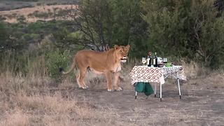 Lioness joins guests for sundowner drinks - Video
