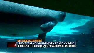 Snooty, world's oldest manatee in captivity, dies in 'heartbreaking accident,' 2 days after birthday - Video