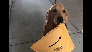 Golden Retriever Enthusiastically Delivers an Amazon Package to His Owner