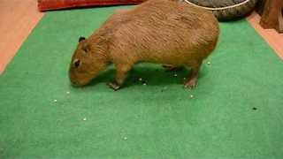 Capybara Practically Vacuums Delicious Treats - Video