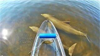 Awesome Dolphins Keep Man Company In See-Through Canoe - Video
