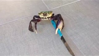 Brave Crab Fights For Freedom Using A Chef's Knife - Video