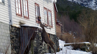 En-deer-ing moment wild stag visits old lady's window for snacks and strokes - Video