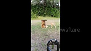 This is what lion love looks like - Video