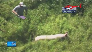 Accident left dozens of pigs roaming around - Video